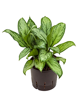 Aglaonema 'Christina'