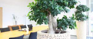 langlebige Ficus Bepflanzung in einem Holzgefäß
