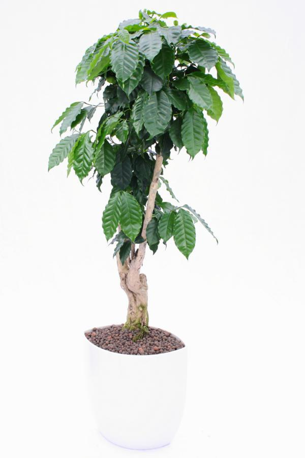Schlappen die Blätter ist oft zu viel oder wenig gegossen