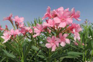 Blüte eines Oleanders