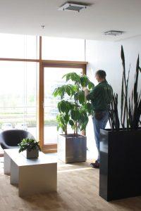 Mann bei Pflegearbeiten an Zimmerpflanze