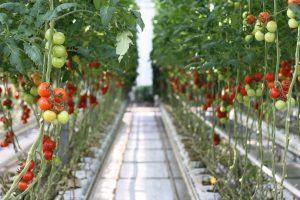 Tomatenanzucht mit Früchten