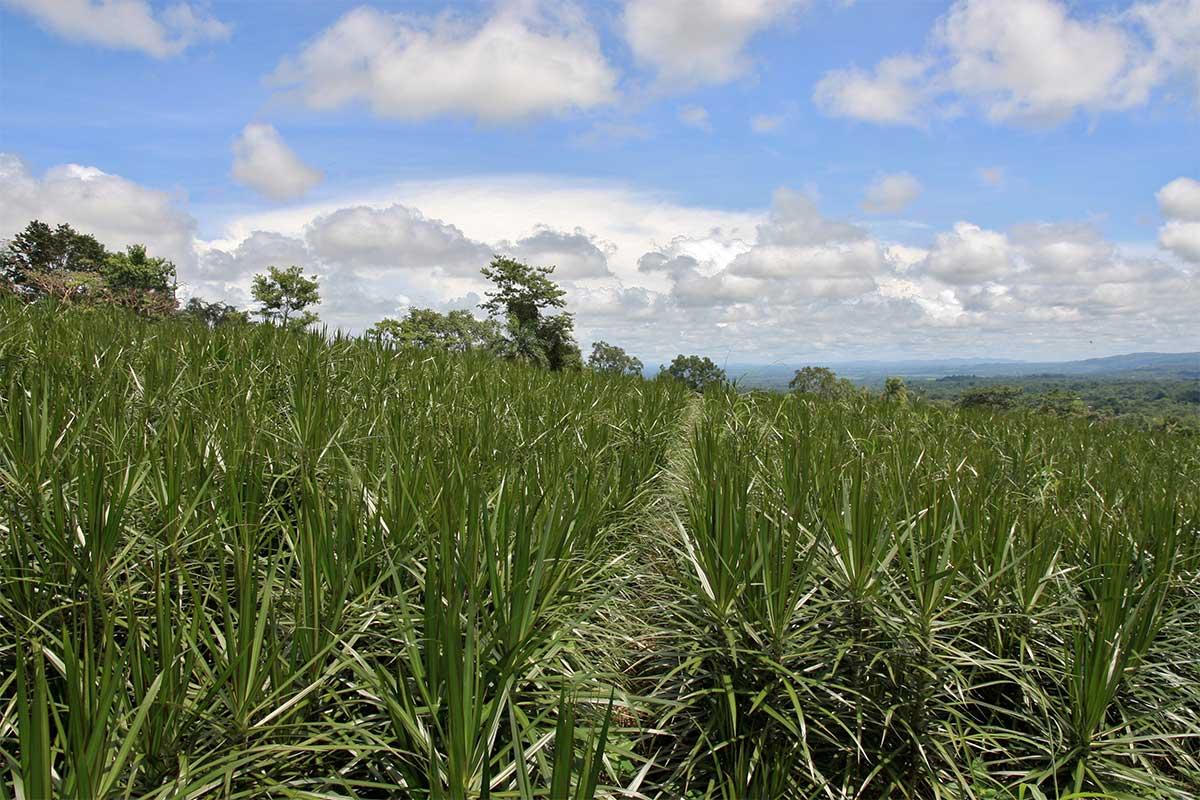 """Costa Rica heißt auf spanisch """"reiche Küste"""". Hier sprießen Drachenbäume wie in Deutschland die Weizenfelder."""