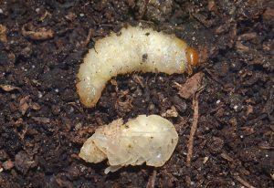 Larve der Dickmaulrüssler fressen Pflanzenwurzeln