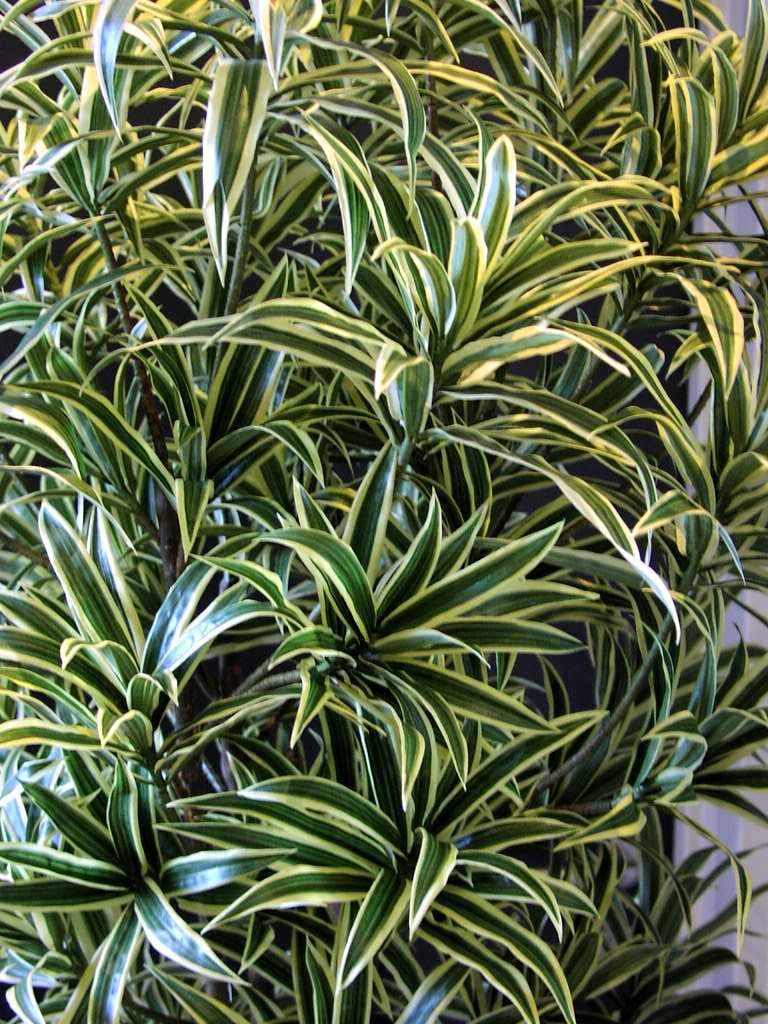 Dracaena reflexa Song of India Detail