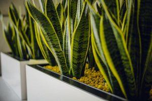 eingefärbter Blähton mit Sansevieria bepflanzt
