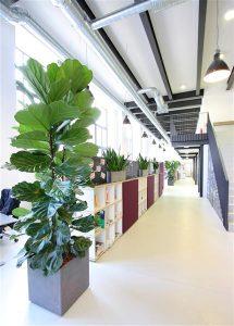Rohgefäße mit Lyrata Pflanze