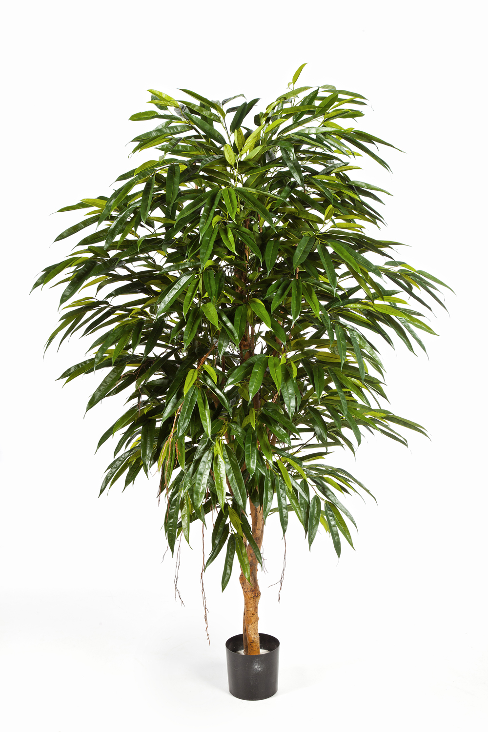 Royal longifolia Tree