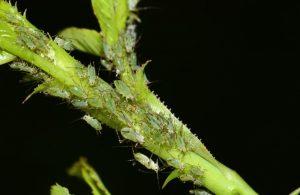 Blattläuse an einer Zimmerpflanze