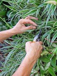 Raumbegrüner beim Rückschnitt von Zimmerpflanzen