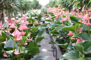 Anzuchtbeet mit rosa Anthurien