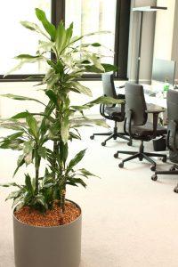 Standard Hydrokulturbepflanzung in Büroraum