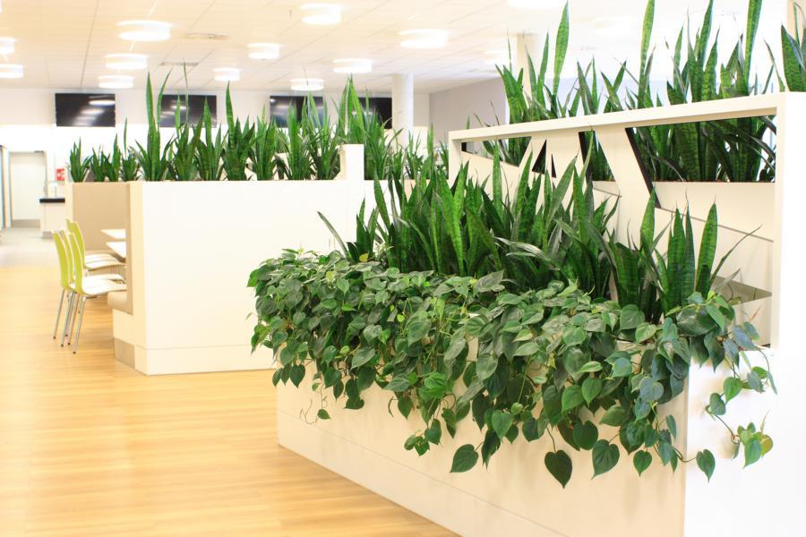 Raumtrennung und Sichtschutz mit Sansevierien und Philodendron