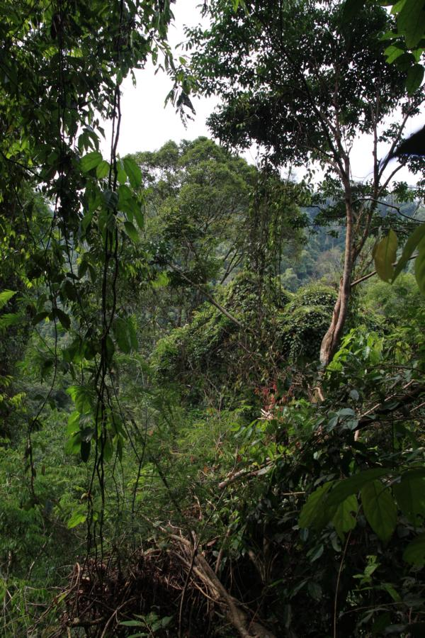 Urwald in Indonesien